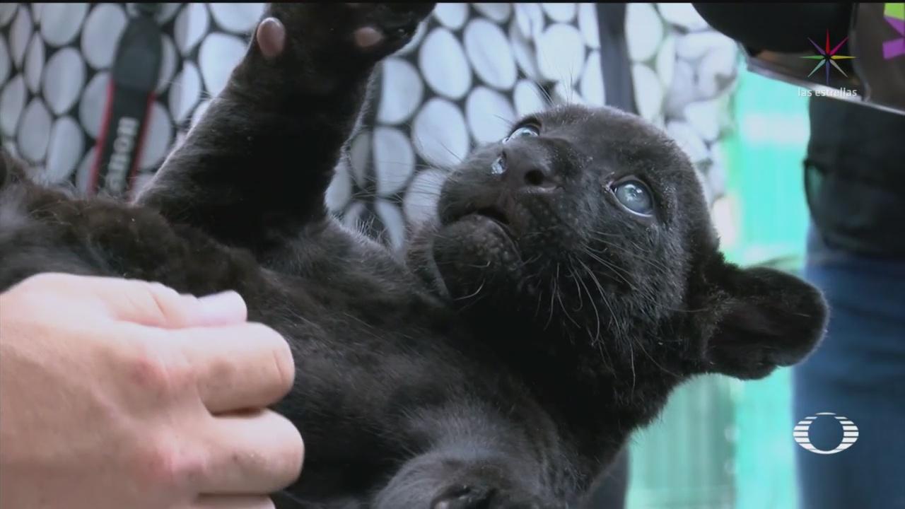 Foto: Cría Jaguar Negro Zoológico Culiacán 4 Junio 2019