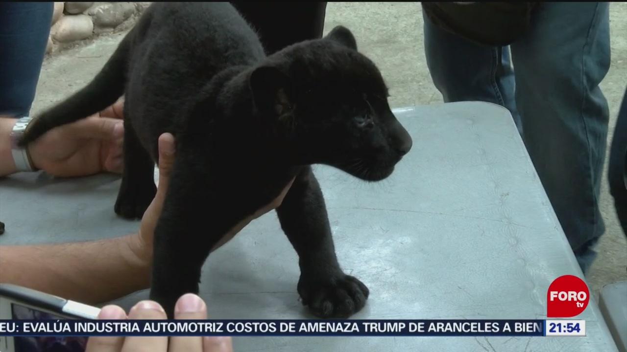 Foto: Presentan Cachorro De Jaguar Negro En Culiacán 4 Junio 2019