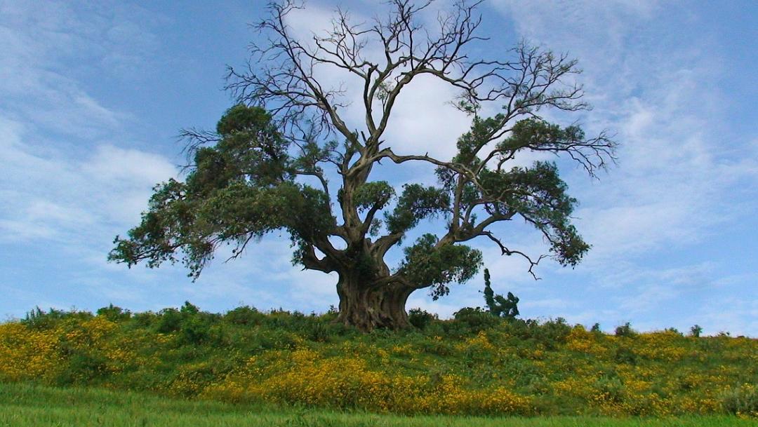 Árbol en Etiopía.