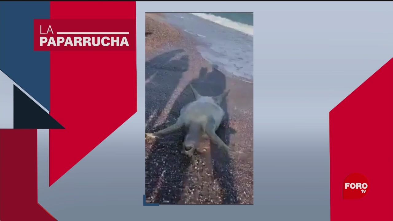 Foto: Cadáver Tortuga Noticias Falsas Derrame Mar de Cortes 19 Julio 2019