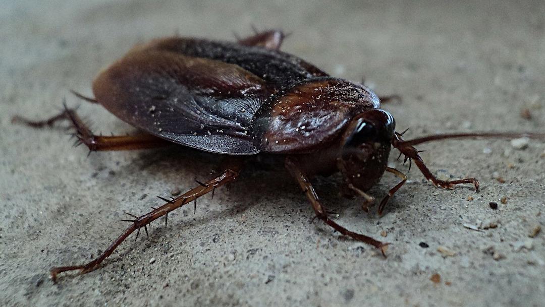 Foto Cucarachas Resistencia Insecticidas 2 Julio 2019