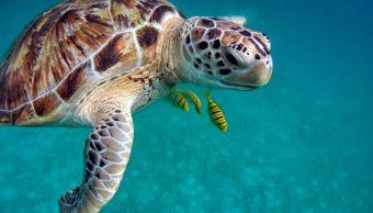 Foto: Esta especie se encuentran en peligro de extinción por consumo humano y alto número de predadores. (Pixabay). 30 de julio 2019