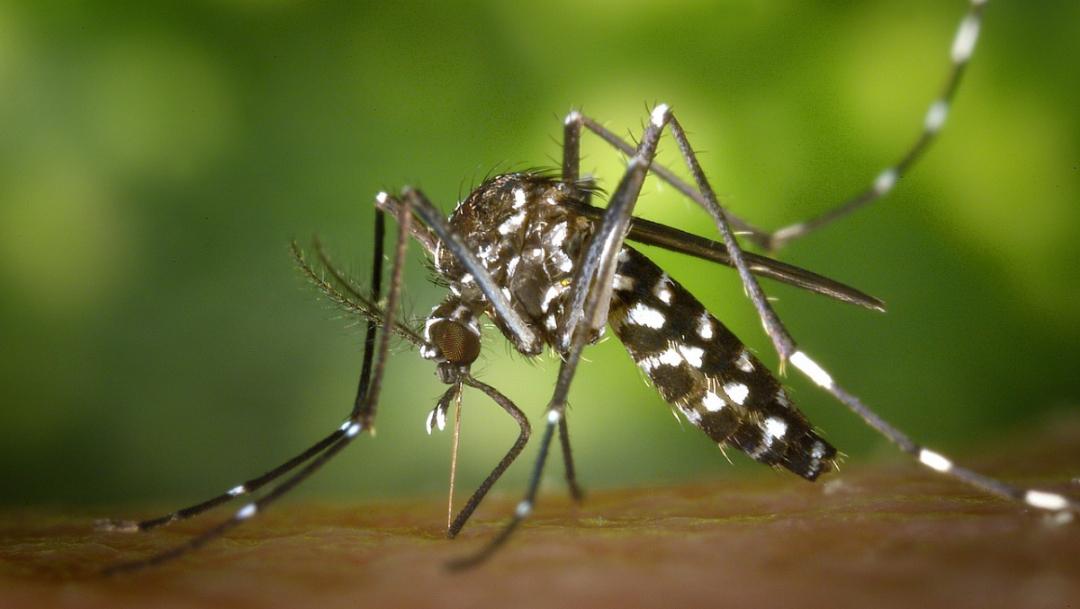 Foto: mosquito del dengue o la llamada fiebre amarilla. 31 julio 2019