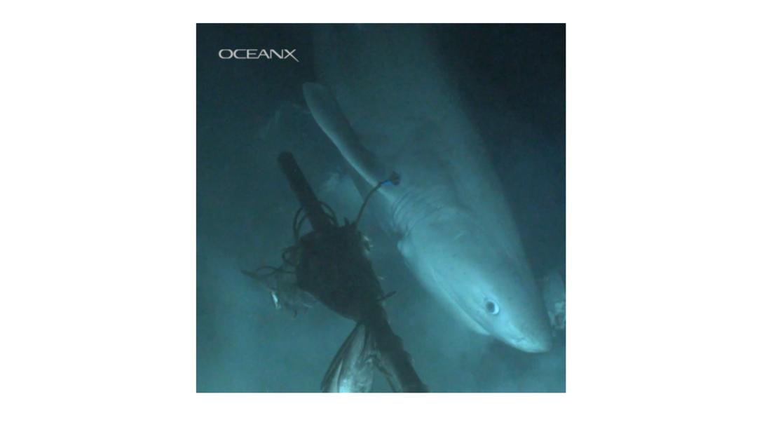 foto Video: Captan a un tiburón 'prehistórico' en su hábitat natural 9 julio 2019