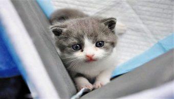 Nace 'Garlic', el primer gatito clonado de China