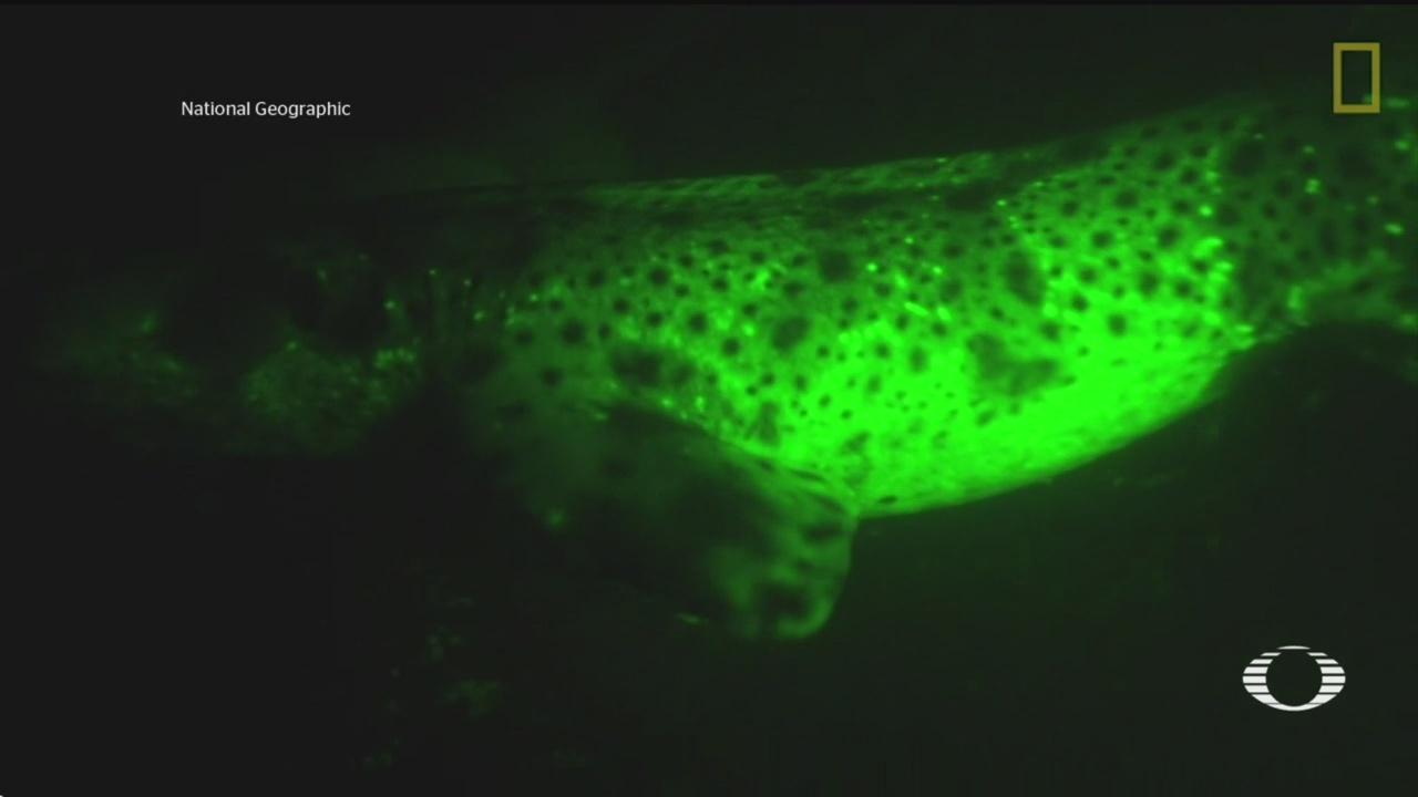 Foto: Identifican Sustancia Tiburones Brillen Oscuridad 9 Agosto 2019