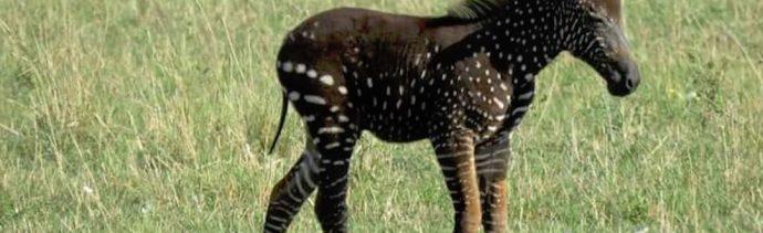 Cebra-negra-bebe-piel-negra-manchas-blancas