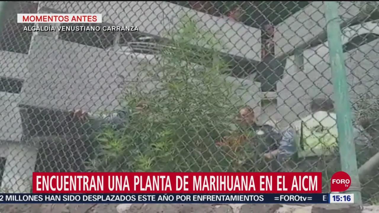 FOTO: Encuentran Planta Marihuana AICM,
