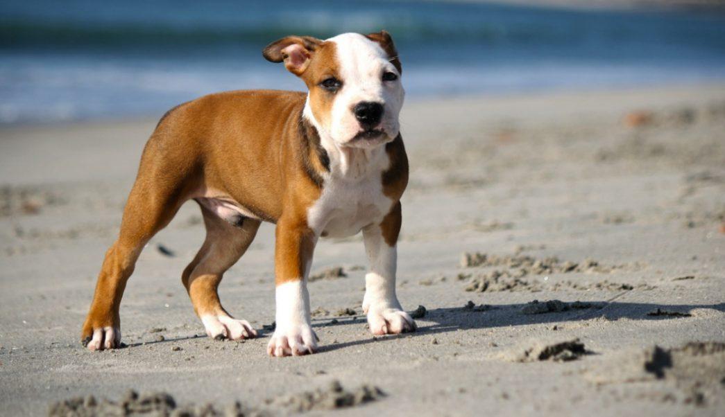 Foto: perro pitbull. 11 septiembre 2019