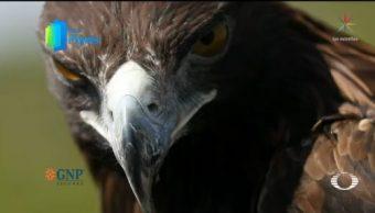 Foto: Por El Planeta Águila Real Símbolo Amenazado 23 Septiembre 2019