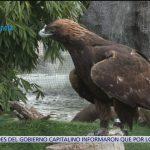 Foto: Por El Planeta, México Hay 142 Parejas Reproductivas Águila Real