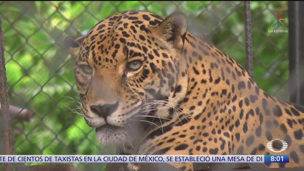 Jaguar, el felino más grande de América, amenazado