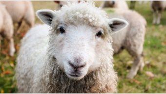 Imagen: Más de 3 mil ovejas murieron debido a un cambio brusco de temperatura, 19 de octubre de 2019 (Pixabay)