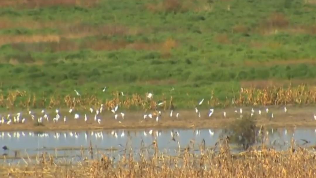 Foto: Pájaros en zona inundada de aeropuerto en Texcoco, octubre 2019, México