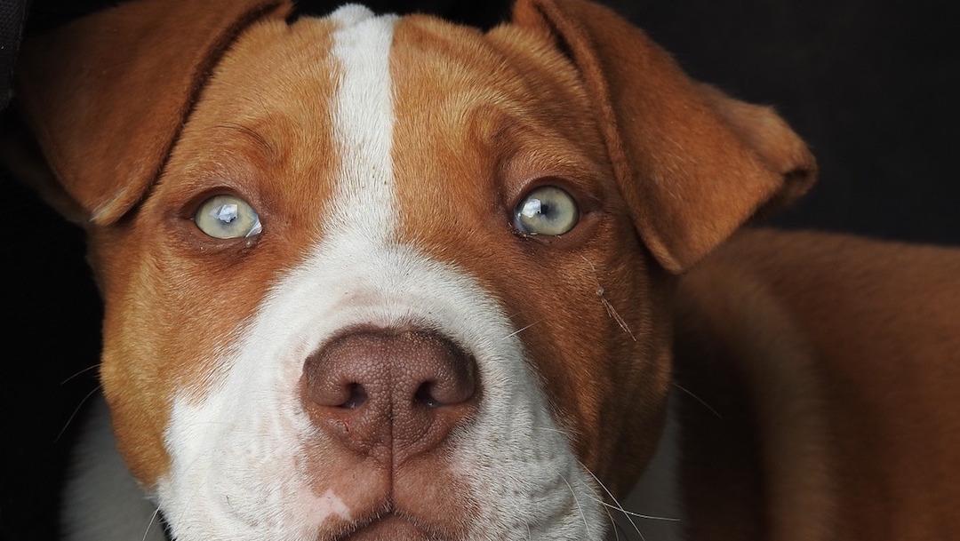 Raza-pitbull-perro-muerde-nino-cuero-cabelludo-Sonora