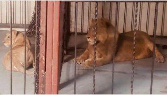Fotos: Dos leones africanos fueron rescatados en Mexicali, 20 de octubre de 2019 (FGR)