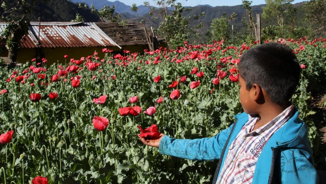 Caída en precio de amapola empobrece a familias en Guerrero