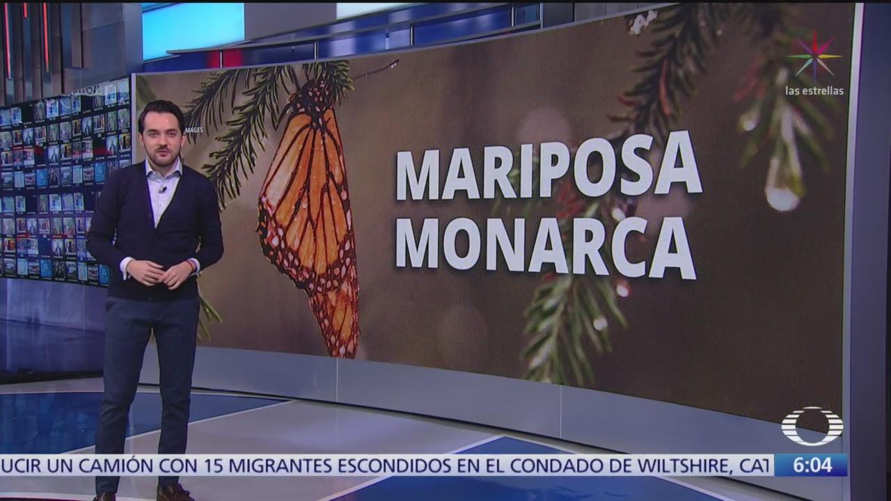 Empieza a llegar la mariposa monarca a México