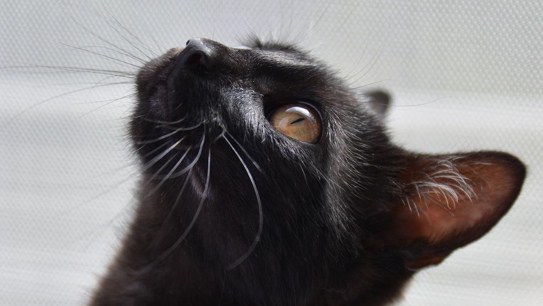 Foto Por qué los gatos negros son usados para rituales de brujería 1 noviembre 2019