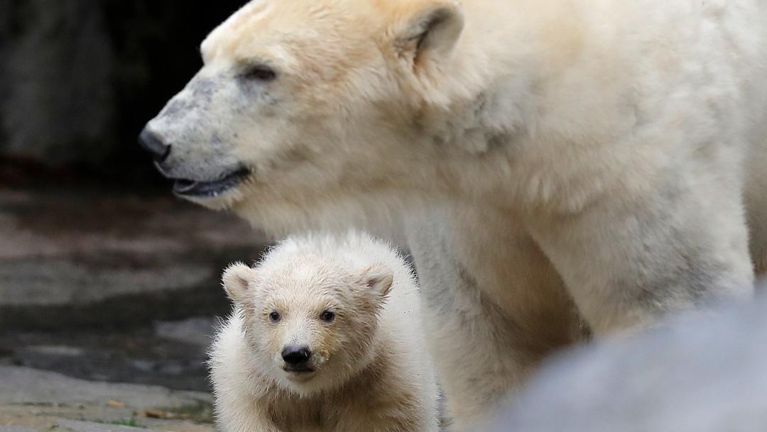 Foto: Osos polares en el Ártico se ven obligados a comer plástico, dice científico