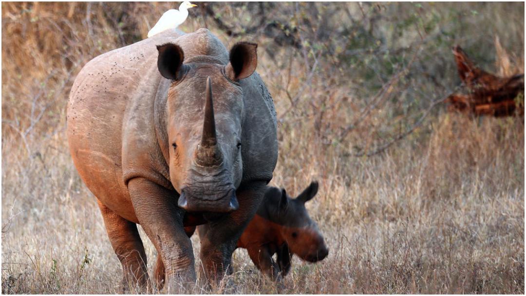 Con cuerno falso buscan evitar caza furtiva de rinocerontes
