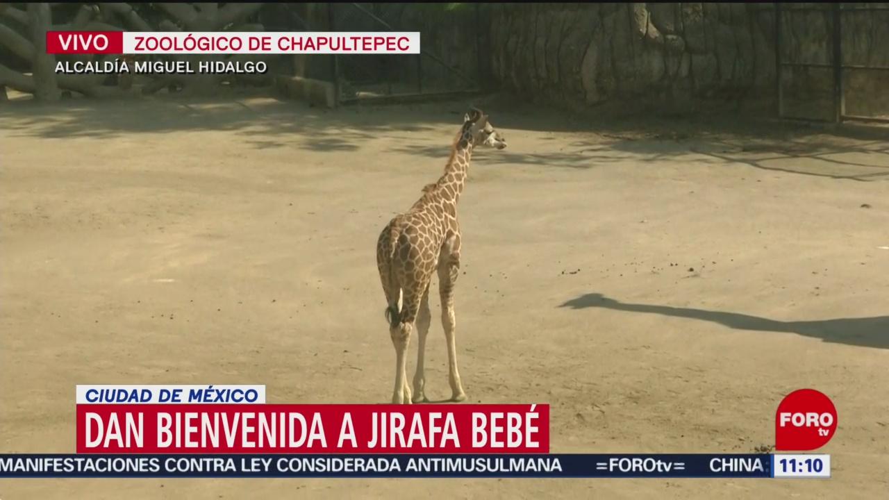 dan bienvenida a jirafa bebe en zoologico de chapultepec