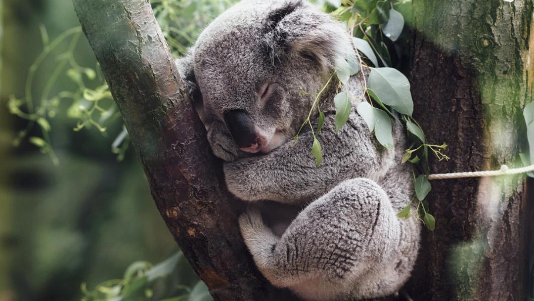 Koala detiene a ciclistas y pide agua por altas temperaturas