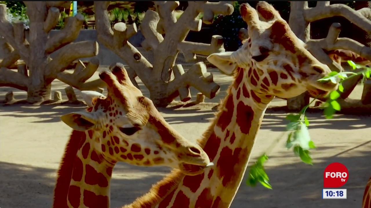 Foto: la nueva jirafa del zoologico de chapultepec