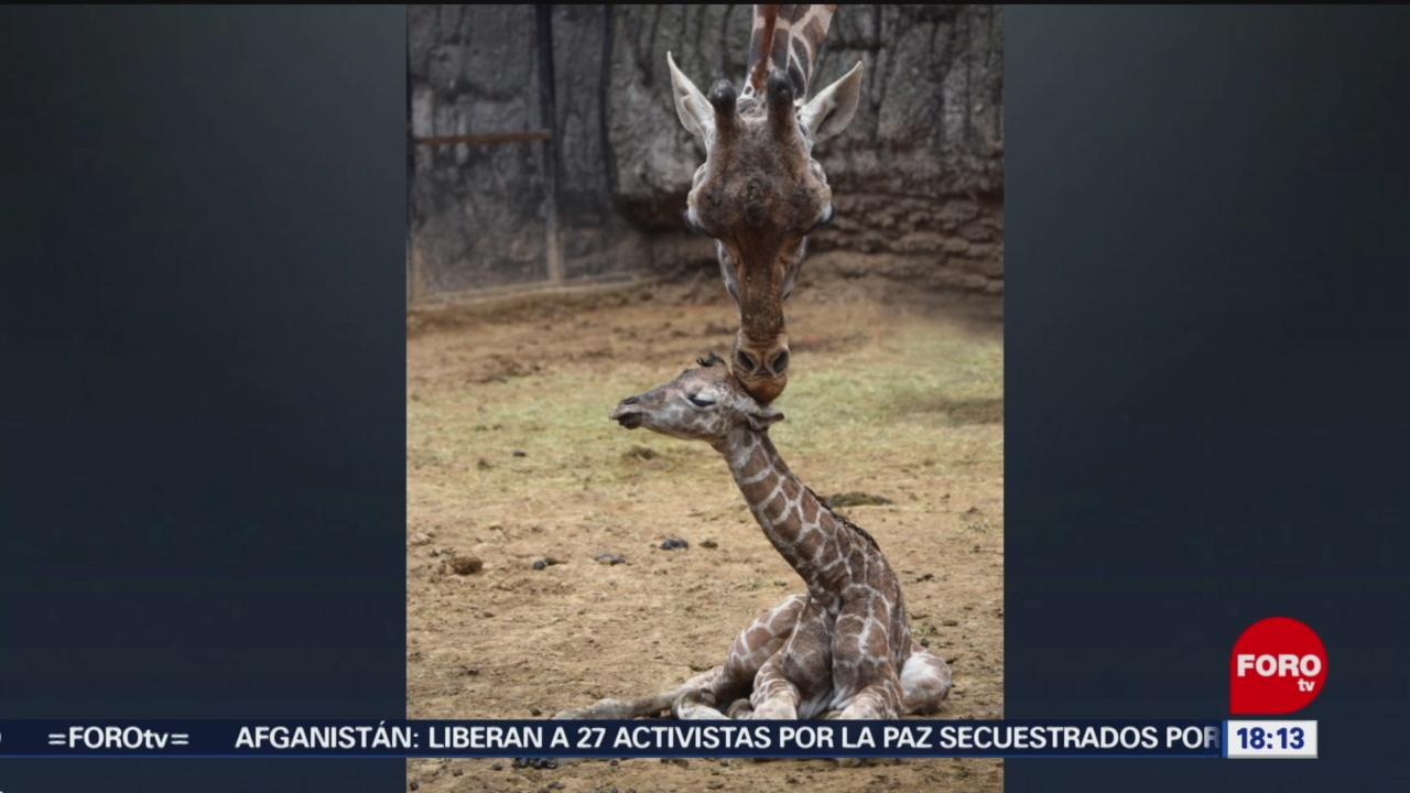 Foto: Nace Jirafa Bebé Zoológico Chapultepec 26 Diciembre 2019