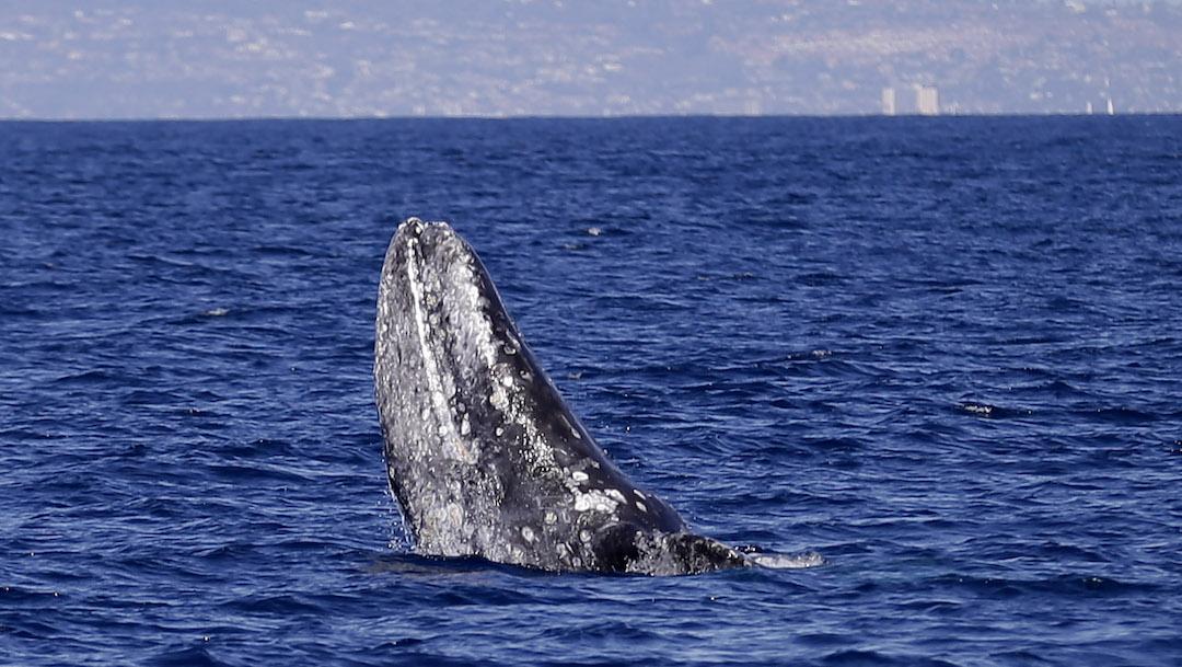 Foto Ballena Gris Baja California Sur Enero 2020