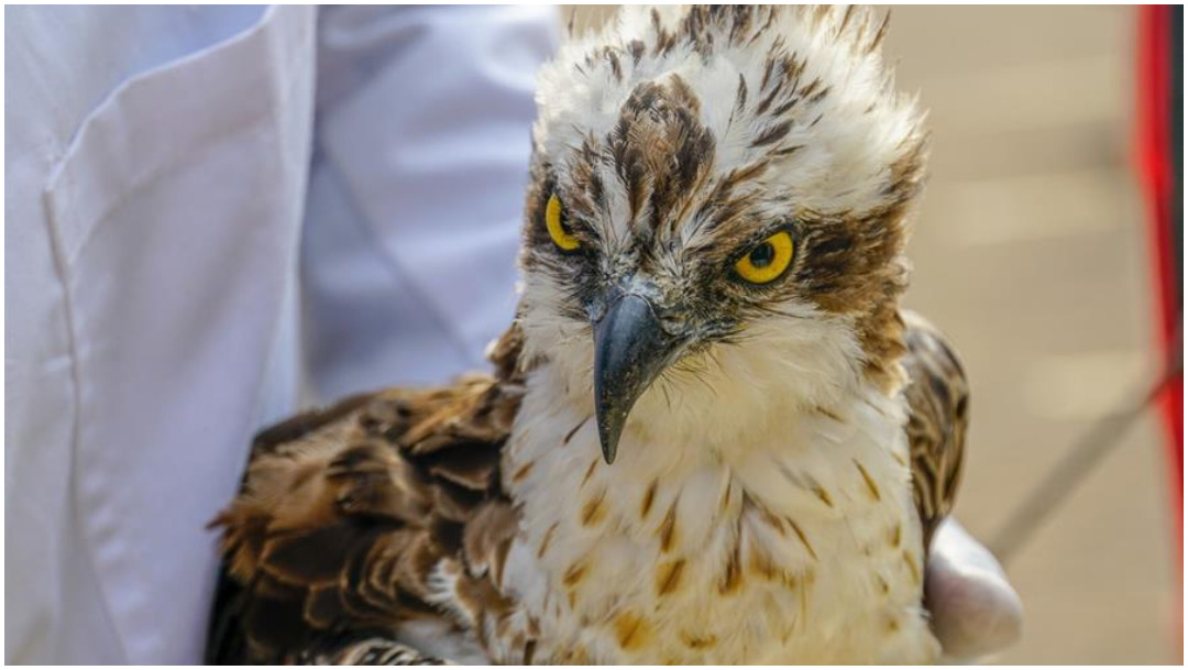 Foto: Una águila pescadora voló de Finlandia a Kenia, 25 de enero de 2020 (EFE)