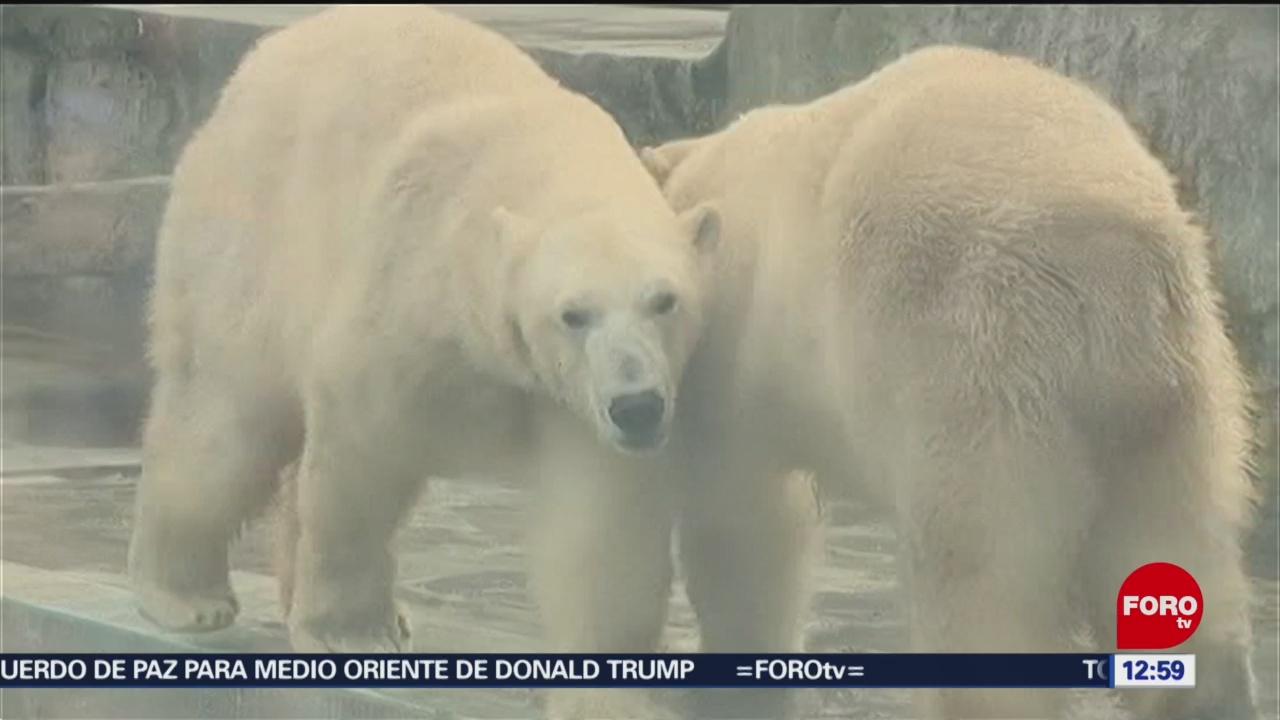 dan festin a osos polares en el zoo de budapest