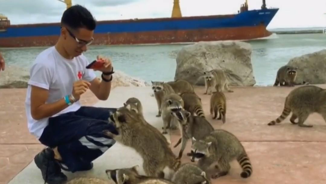 Foto: Mapaches, atractivo turístico en Playa Miramar