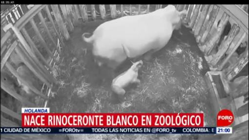 Foto: Video Nace Rinoceronte Blanco Zoológico De Holanda 17 Enero 2020