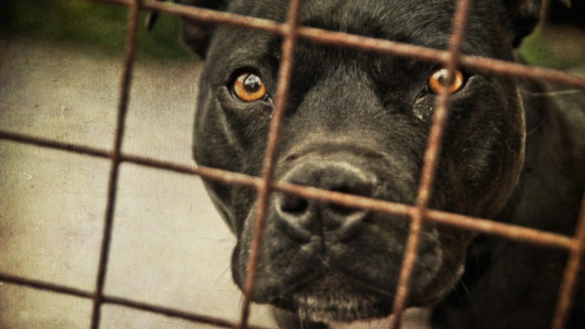 Foto: Un perro pitbull encerrado en una jaula. Getty Images