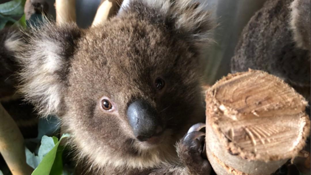 Foto: Kailas Wild, el escalador que rescata koalas en Australia