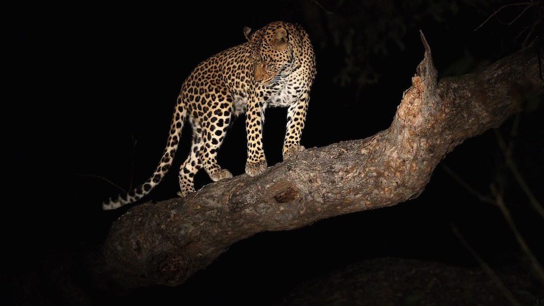 Foto Video: Leopardo roba comida del hocico de un cocodrilo dormido 25 febrero 2020