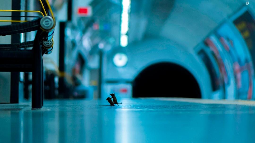 Foto: Pelea de ratones en el metro de Londres, mejor foto de naturaleza del año