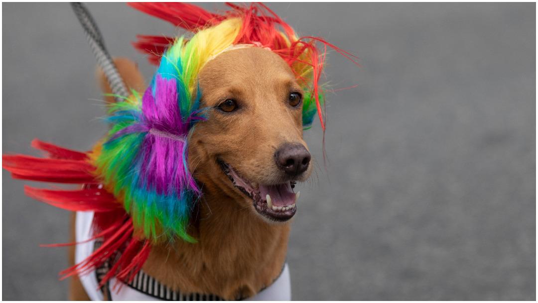 Foto: Los perros posaron muy coquetos para la lente con sus disfraces, 16 de febrero de 2020 (AP)