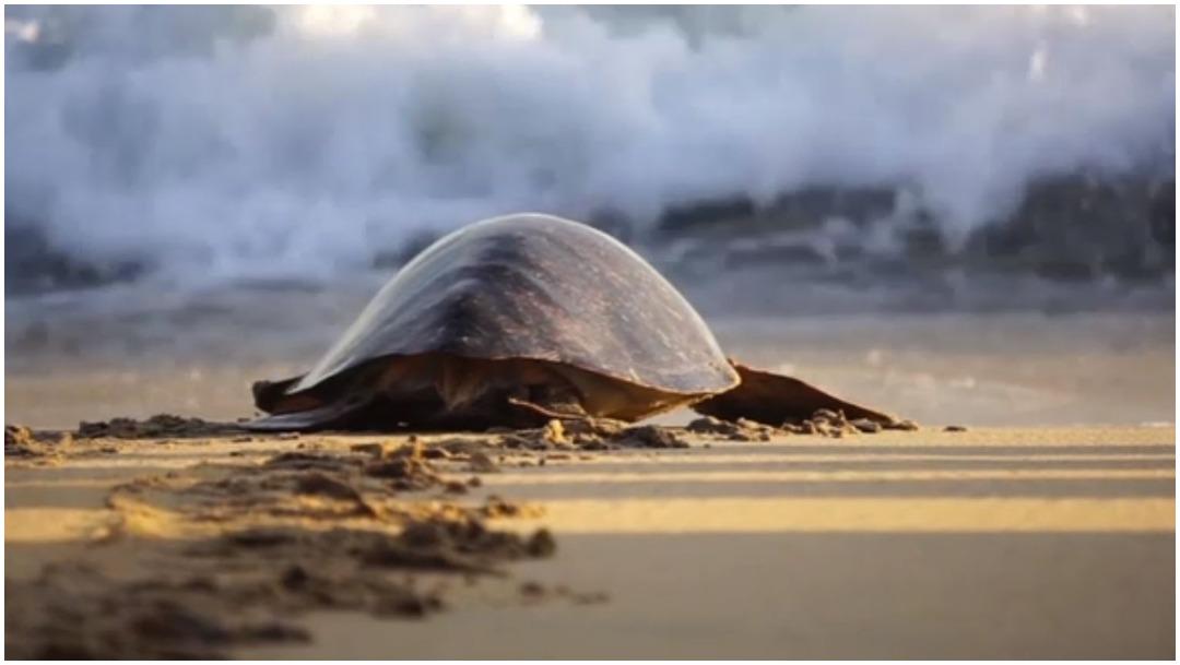 Foto: Biólogos rescatan a tortugas intoxicadas por la marea roja, 9 de febrero de 2020 (Foro TV)