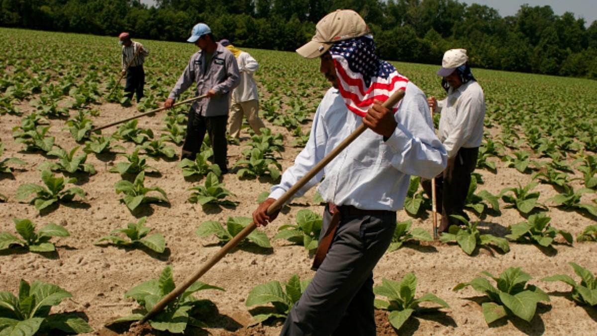 Inmigrantes mexicanos trabajando en el campo estadounidense