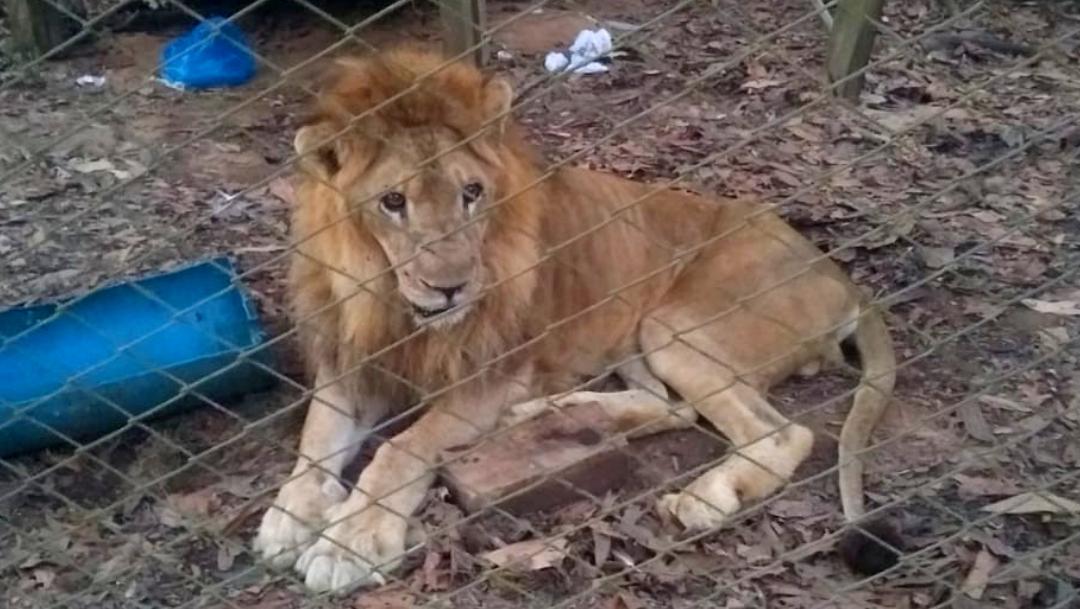 Júpiter, el león de Cali, muestra mejoras en su salud