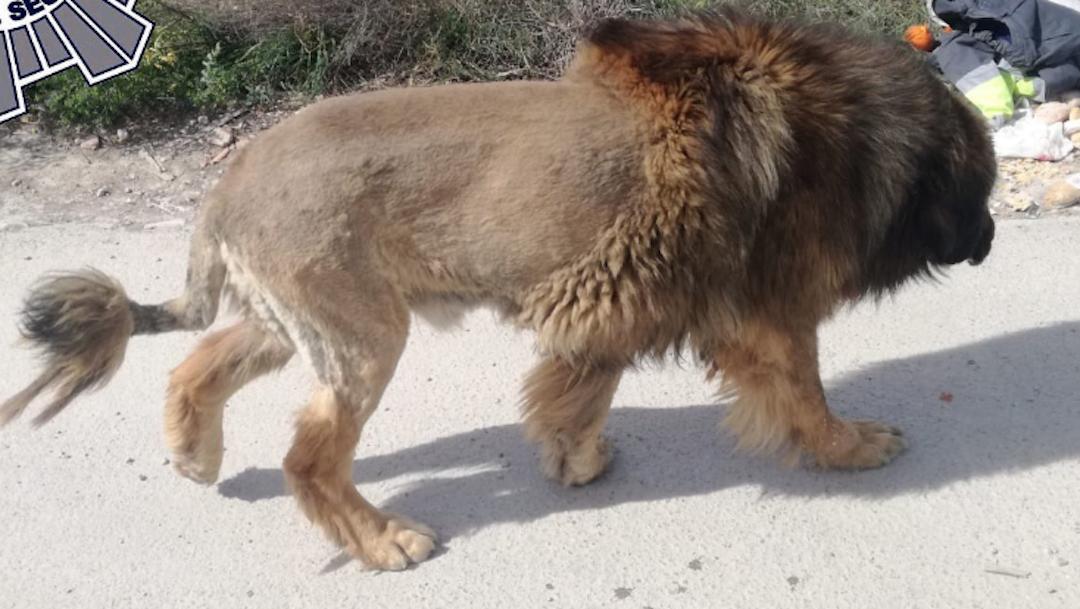 Foto Perro que parece león siembra el pánico en España 9 marzo 2020
