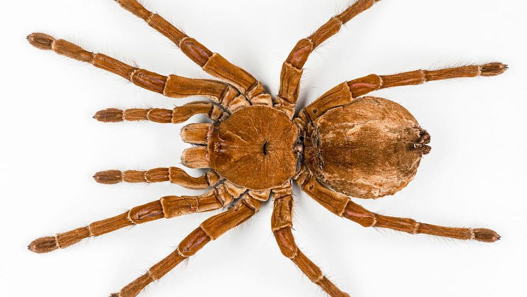 Curiosidades de la araña Goliat, la más grande del mundo