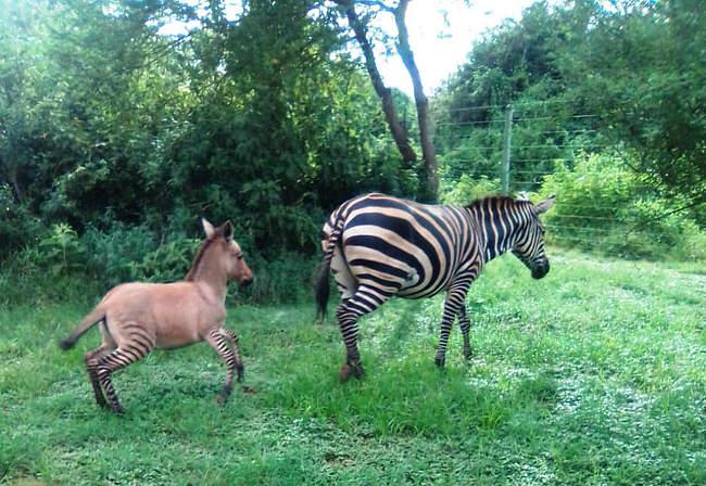 Cebra-Burro-Ceburro-Zebroide-Bebe-Cria-Kenia-Africa-Animales-Animal-Adorable-Fotos, Ciudad de México, 12 de abril 2020