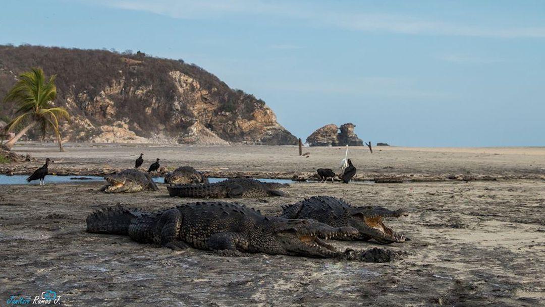 Foto Avistan cocodrilos en playas de Oaxaca durante cuarentena 13 abril 2020