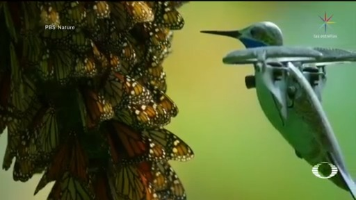 Foto: Drone En Forma Colibrí Capta Imágenes Mariposas Monarca 24 Abril 2020