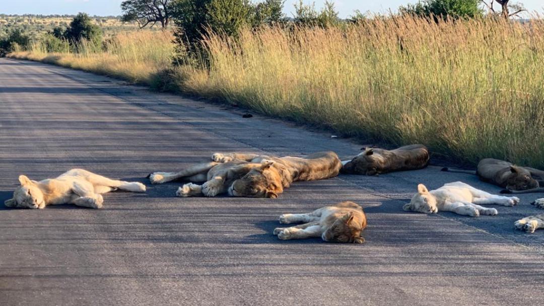 Leones-dormidos-carretera-desierta-Sudafrica-cuarentena