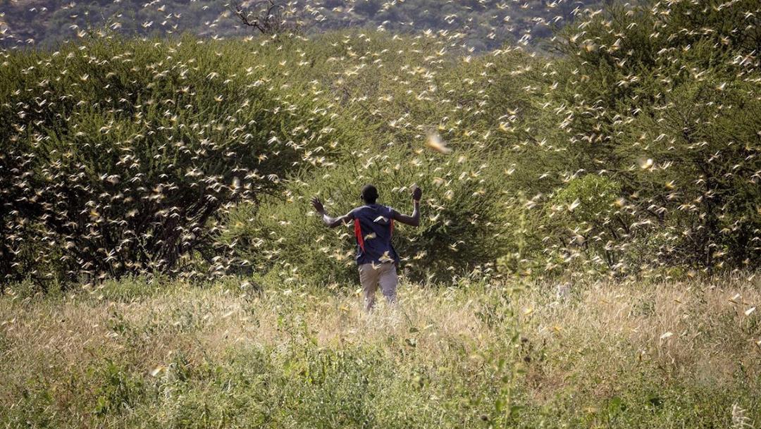 Plaga de langostas de 'proporción bíblica' alerta a África