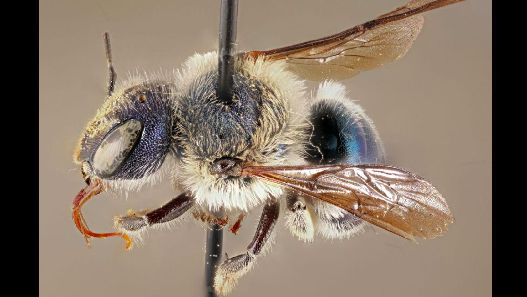 Foto reaparece la extraña abeja azul de Florida, se creía extinta 20 mayo 2020